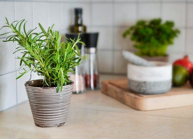 rosemary growing in kitchen