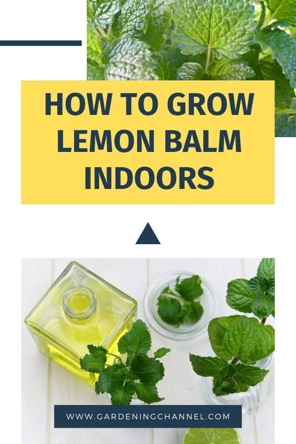 lemon balm plant with harvested lemon balm with text overlay how to grow lemon balm indoors