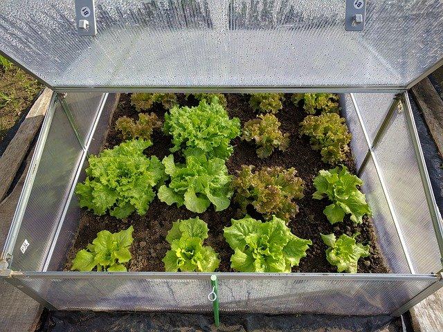 growing lettuce in mini greenhouse