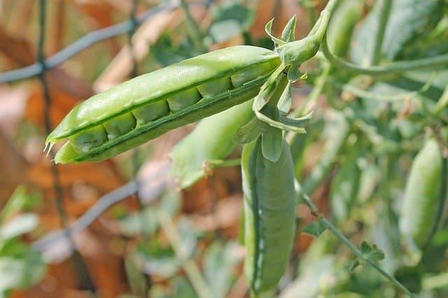 growing peas in zone 5