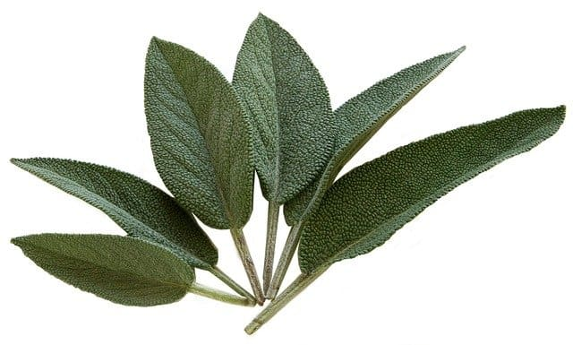 how to harvest sage from indoor plants