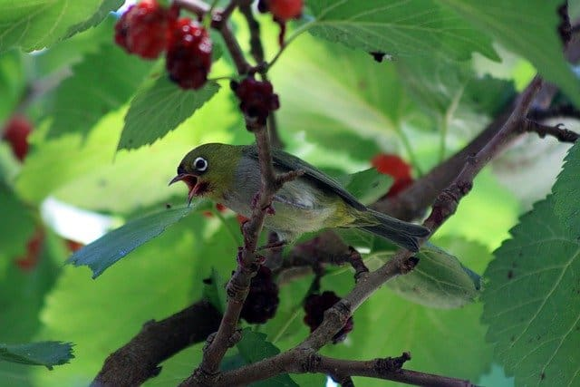 mulberry tree to attract birds