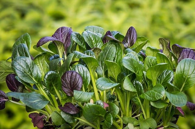 growing mustard spinach