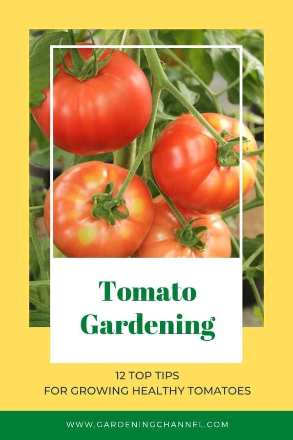 tomatoes in garden with text overlay tomato gardening twelve top tips for growing healthy tomatoes