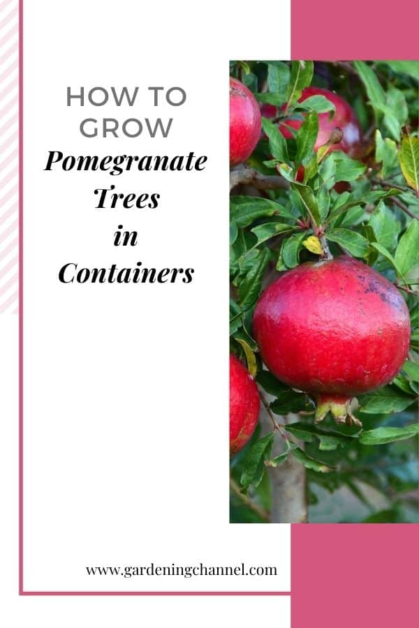 pomegranate tree with text overlay how to grow pomegranate trees in containers
