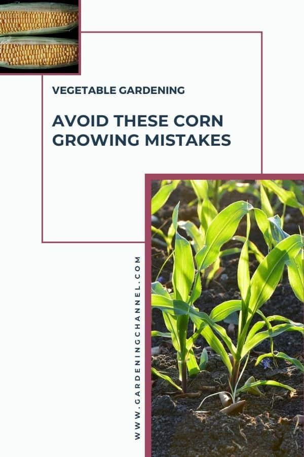 harvested corn and corn plants in garden with text overlay vegetable gardening avoid these corn growing mistakes