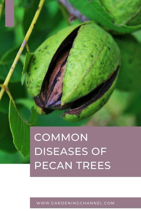 pecan tree with text overlay common diseases of pecan trees