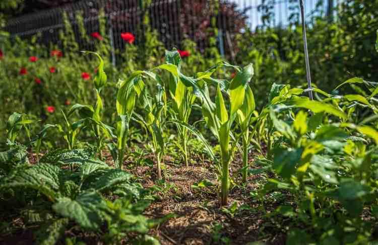 corn growing in vegetable garden