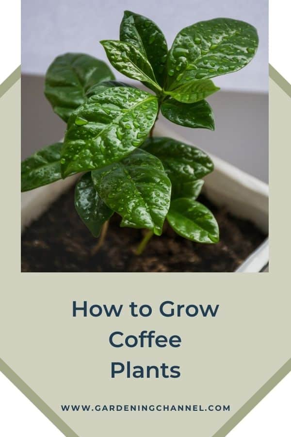 indoor coffee plant with text overlay how to grow coffee plants