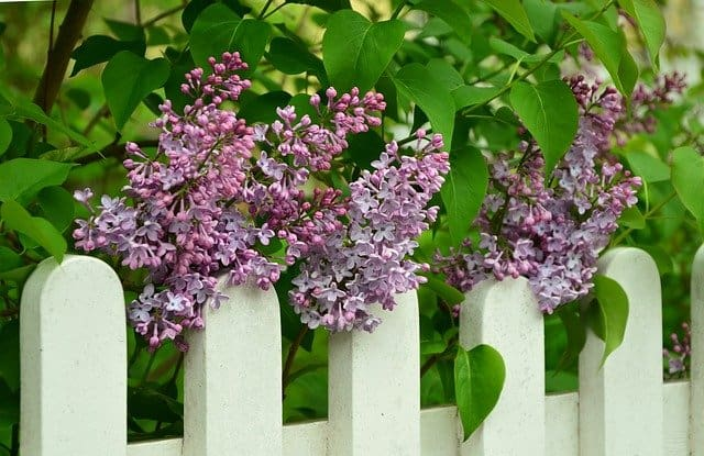 growing lilac