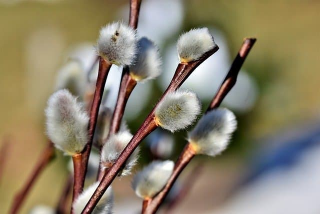 fast growing shrub pussy willow