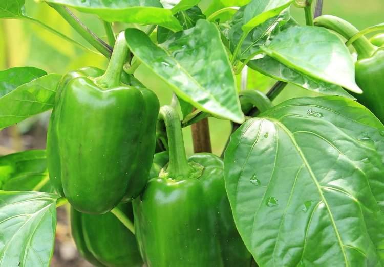 green pepper plants growing