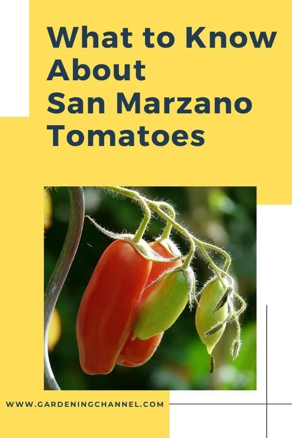 San Marzano tomatoes on the vine with text overlay what to know about san marzano tomatoes