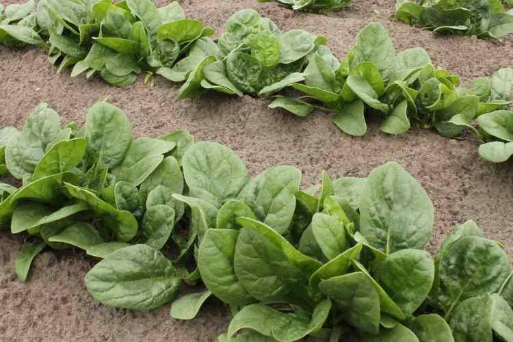 spinach in a garden growing