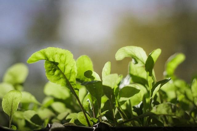 growing indoor spinach