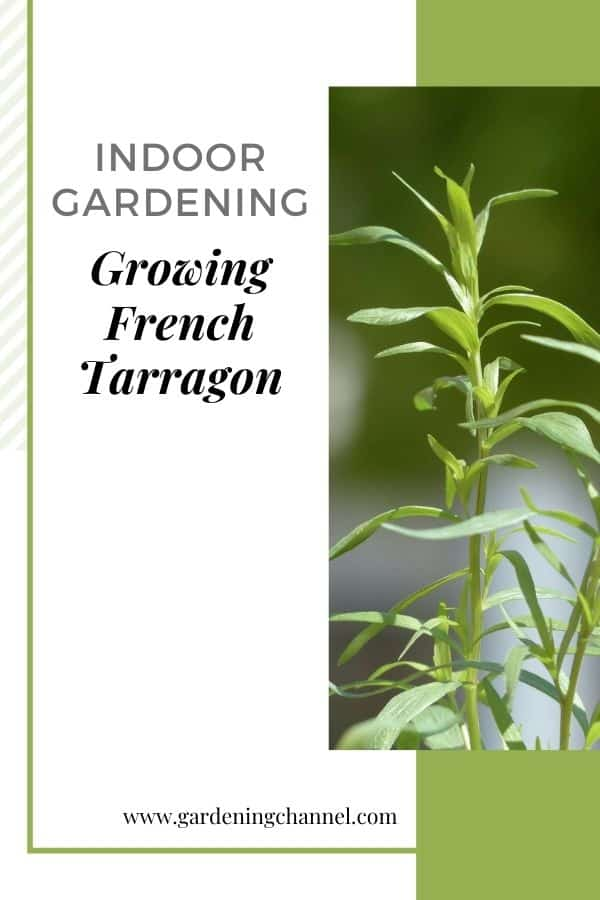 potted tarragon with text overlay indoor gardening growing french tarragon