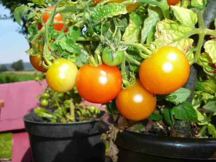 container tomatoes growing