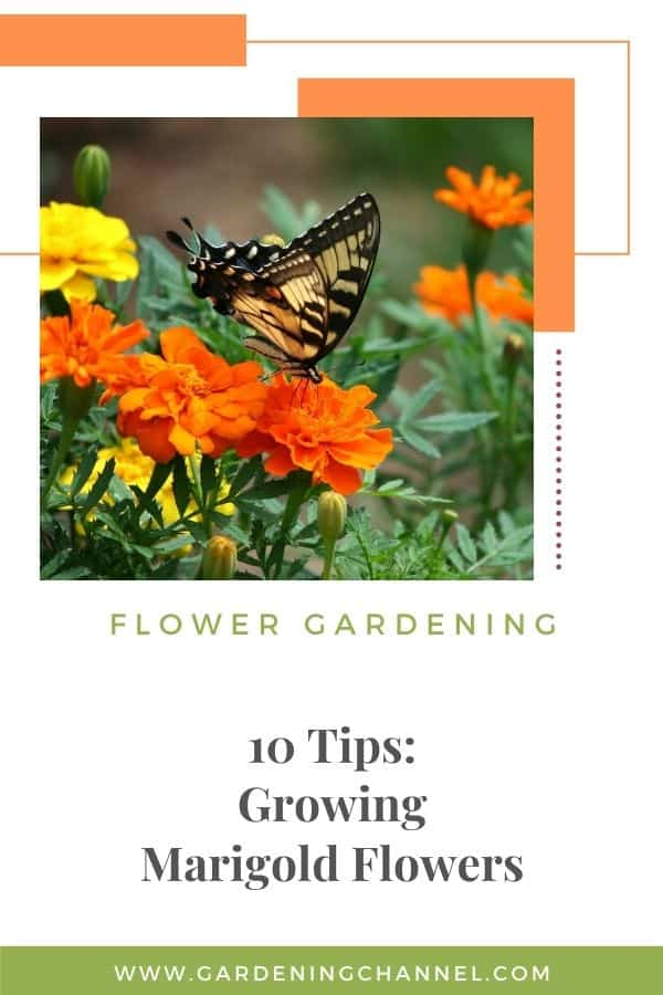 butterfly on marigold with text overlay 10 Tips for Growing Marigold Flowers