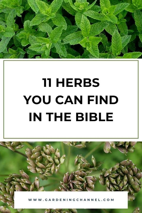 mint and anise with text overlay 11 Herbs You Can Find in the Bible