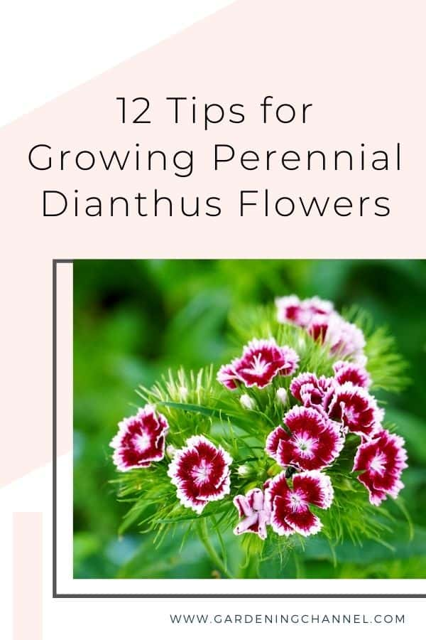 dianthus with text overlay 12 Tips for Growing Perennial Dianthus Flowers