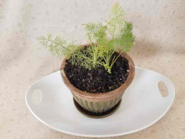 dill plant growing in a container