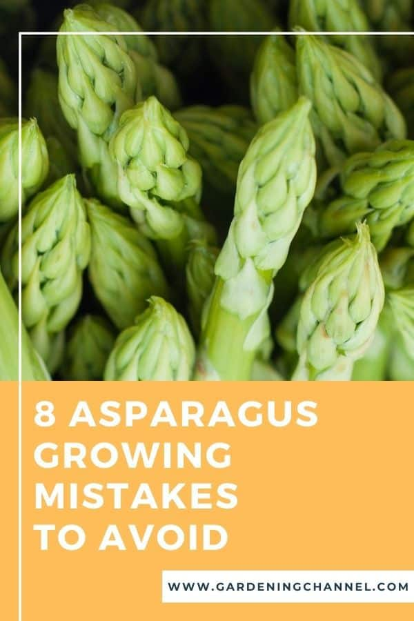 harvested asparagus with text overlay eight growing mistakes to avoid