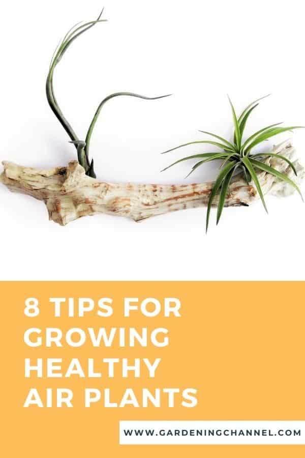 tillandsia on driftwood with text overlay 8 Tips for Growing Healthy Air Plants