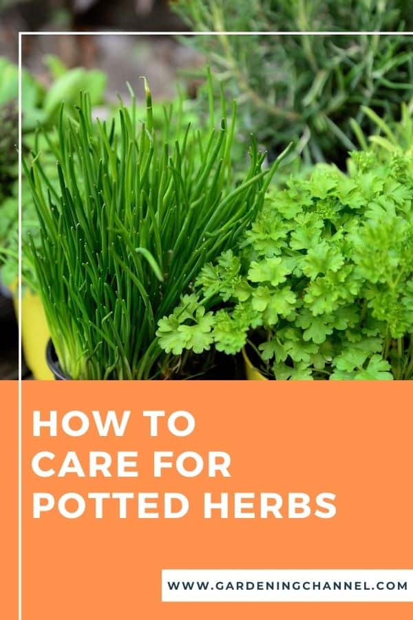 container herb garden with text overlay how to car for potted herbs