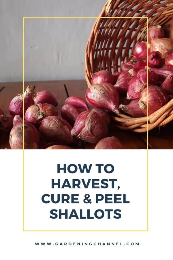 harvested shallots and basket with text overlay how to harvest cure and peel shallots