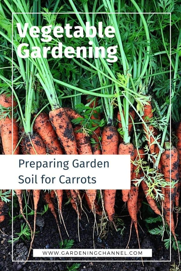 carrots harvested with garden soil with text overlay How do you prepare soil for carrots?