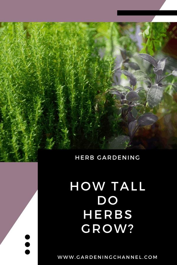 thyme basil with text overlay How tall do herbs grow?