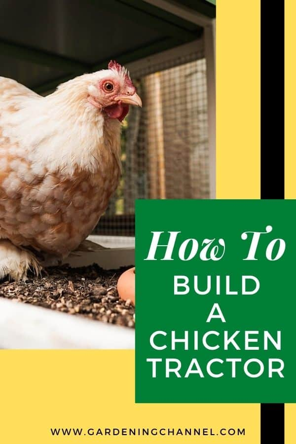 chicken in coop chicken tractor with text overlay how to build a chicken tractor