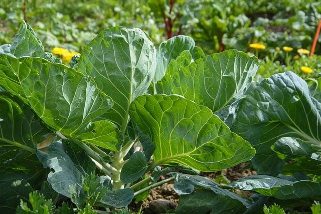 harvesting cauliflower leaves