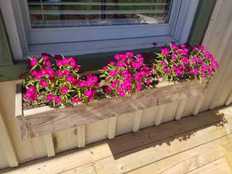 dianthus flowers in a window box