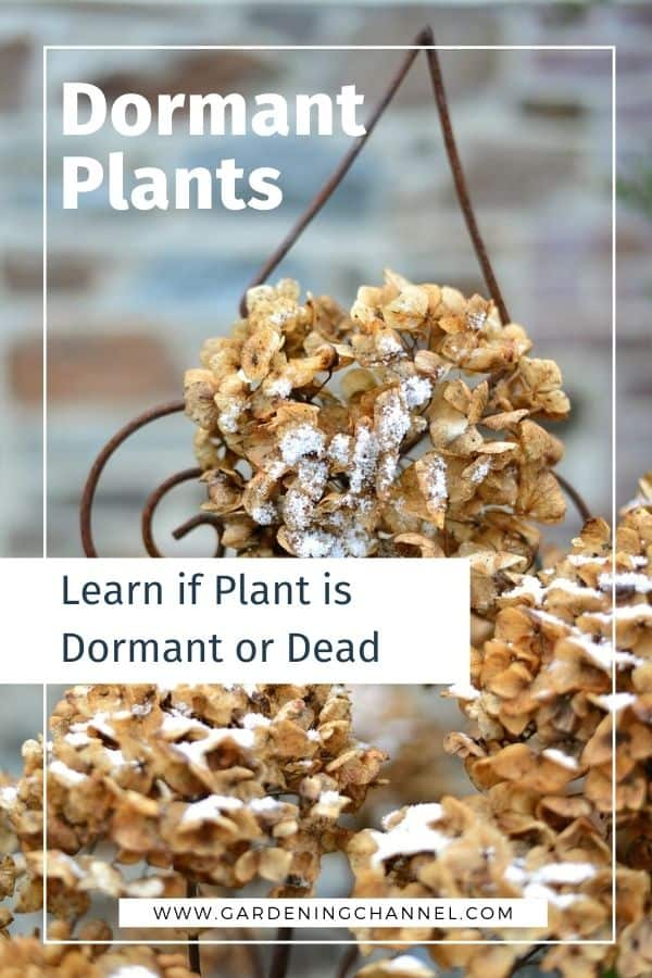 dried hydrangea bloom with text overlay dormant plants learn if plant is dormant or dead