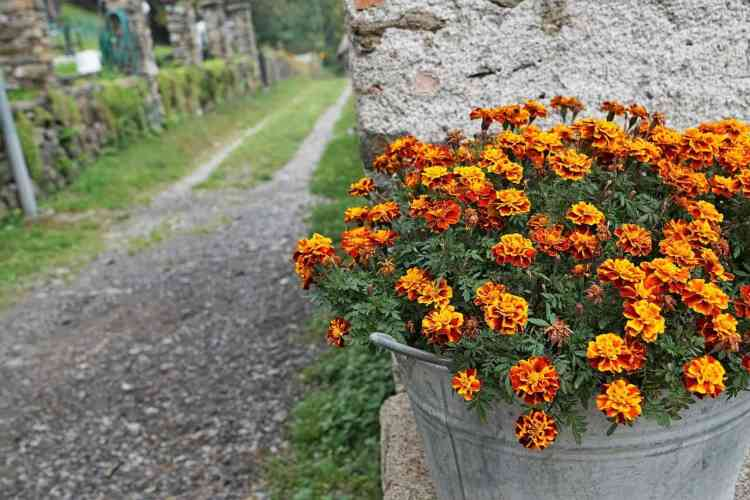 marigold flowers in a galvanized pot