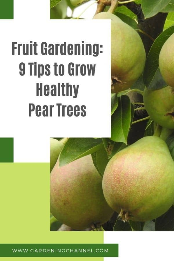 pears on pear tree with text overlay fruit gardening nine tips to grow healthy pear trees