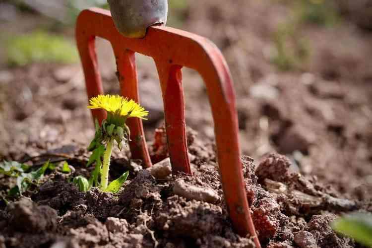garden fork digging weeds