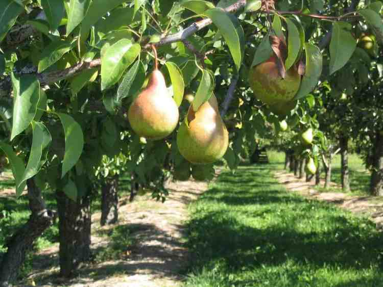 pear tree orchard