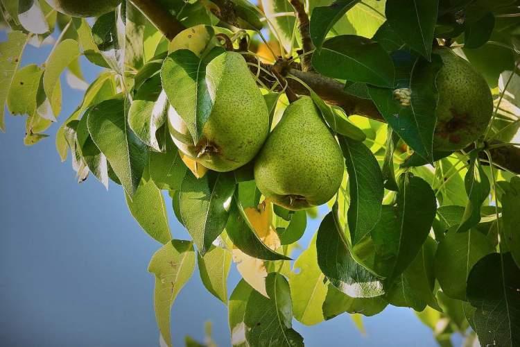 pear tree growing
