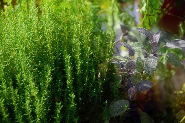 thyme and basil in herb garden