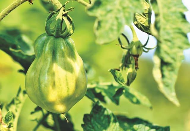 tomato plant in sunlight