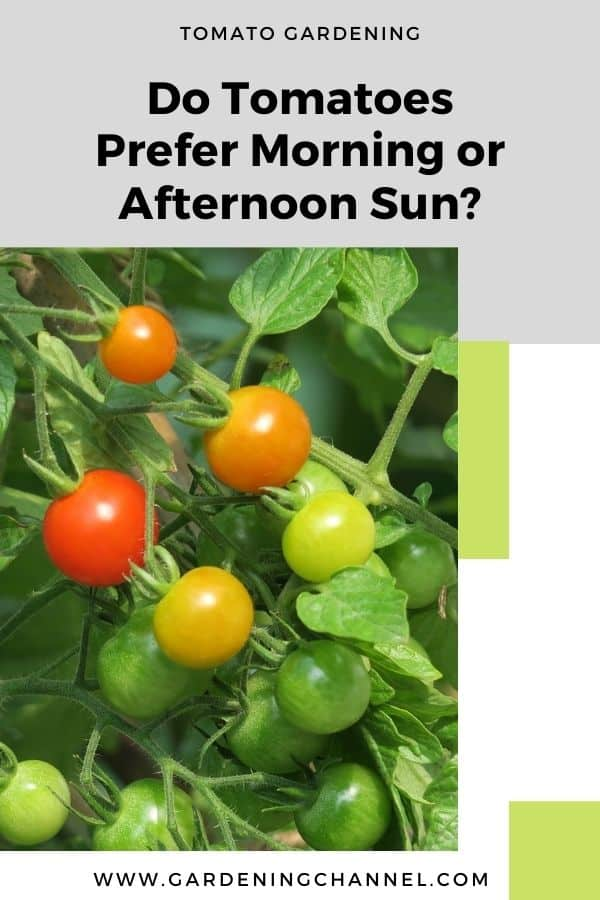 tomato plants growing in garden with text overlay Do Tomatoes Prefer Morning or Afternoon Sun?