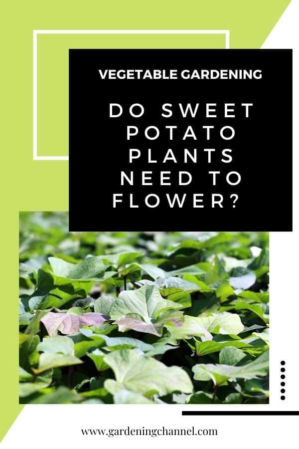 sweet potato plants with text overlay vegetable gardening do sweet potato plants need to flower