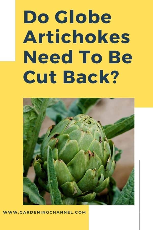 globe artichoke in the garden with text overlay do globe artichokes need to be cut back