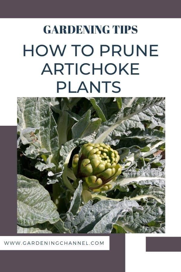 artichoke plant in garden with text overlay gardening tips how to prune artichoke plants