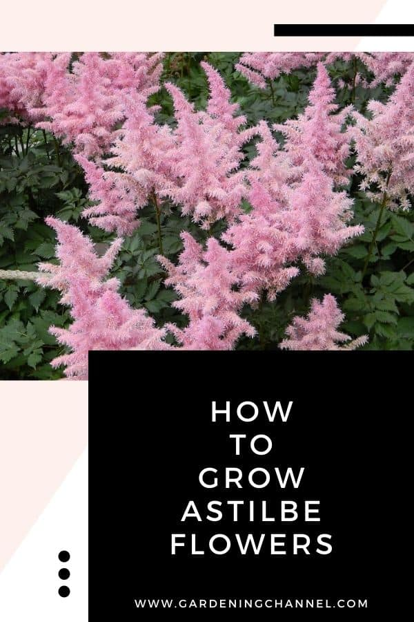 pink astilbe flowers with text overlay how to grow astilbe flowers