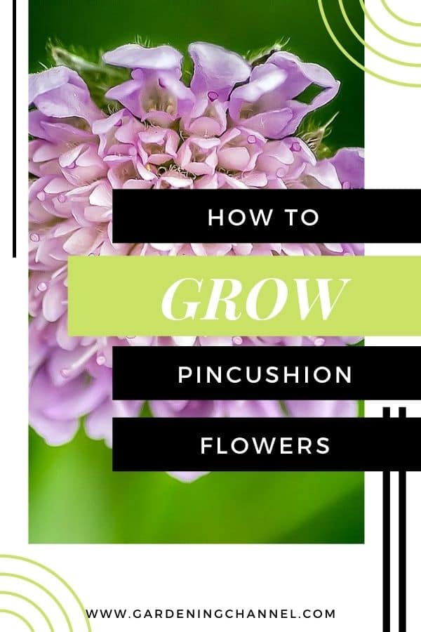 pincushion flower blooming with text overlay how to grow pincushion flowers