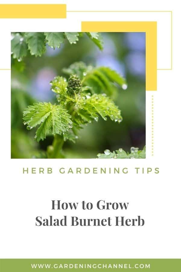 salad burnet in garden with text overlay herb gardening tips how to grow salad burnet herb