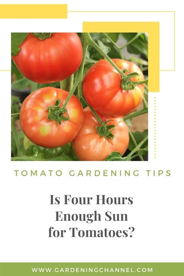 beefsteak tomatoes in garden with text overlay tomato gardening tips Is Four Hours Enough Sun for Tomatoes?